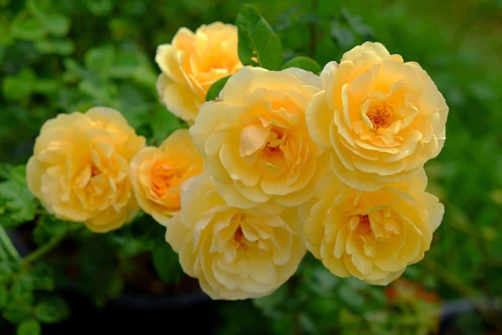 Graham Thomas Roses in a soft, yellow tone.
