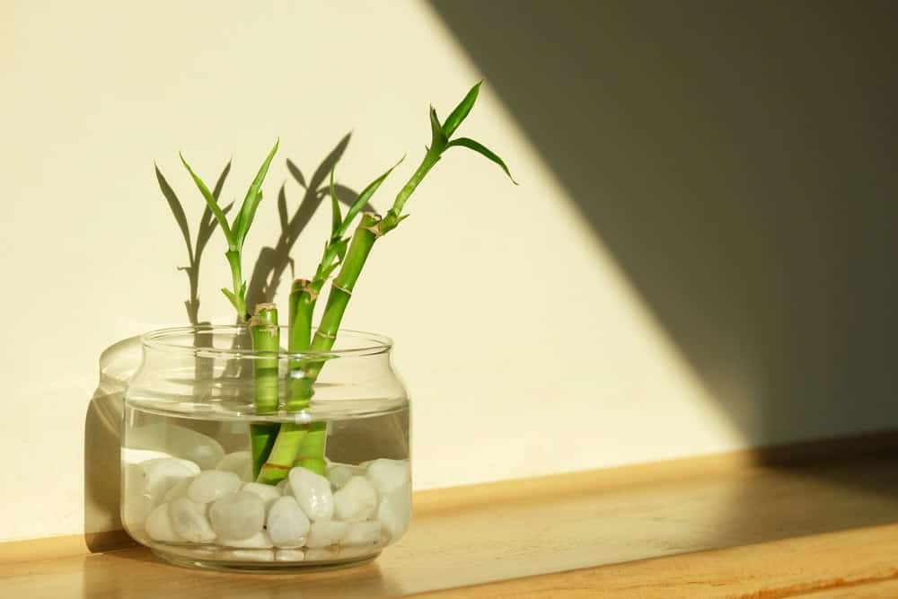Green lucky bamboo indoor plant.