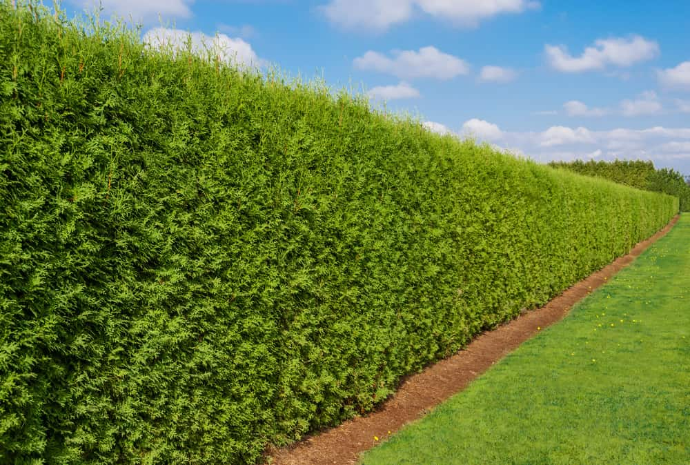 Hedge in backyard providing privacy as an alternative to a fence
