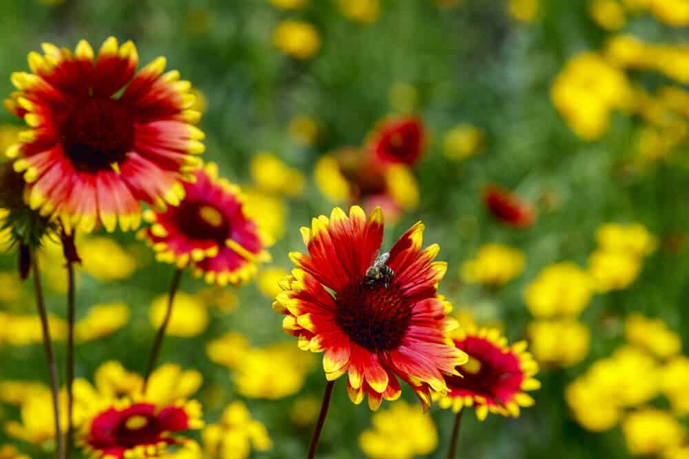 Heleniums with orange petals and yellow tips.