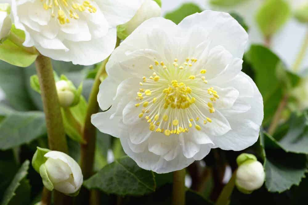 White Hellebores, fully-blossomed in a garden.
