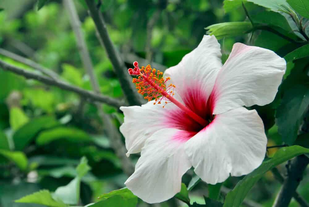 Hibiscus in white and hot pink.