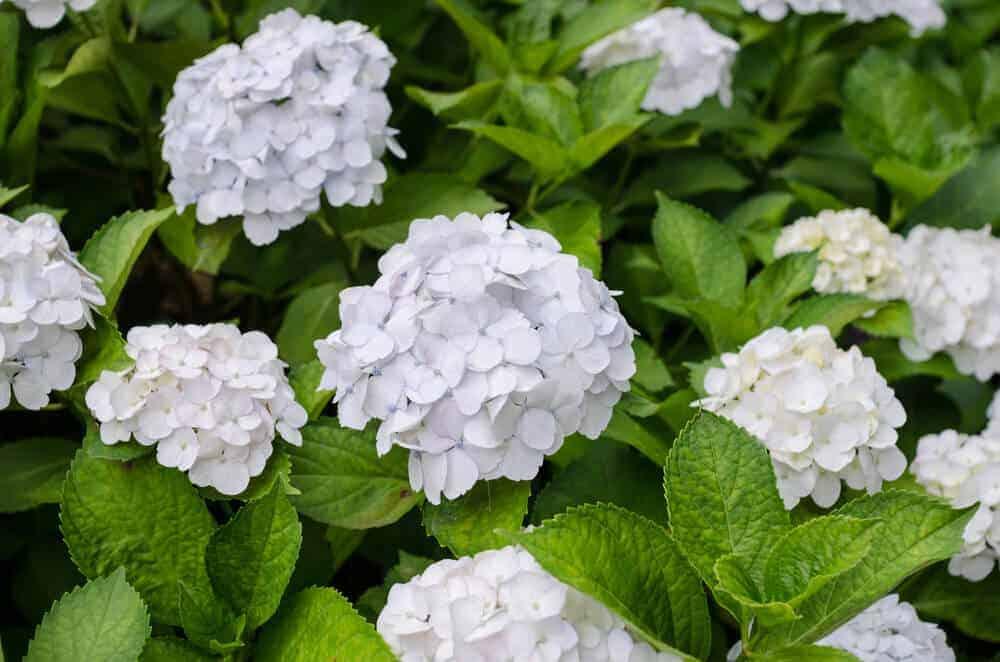 White Hydrangea flowers in a garden.