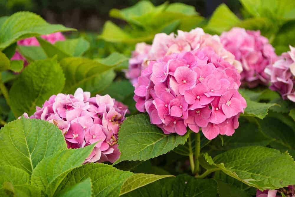 Pink Hydrangeas looking fresh and healthy.