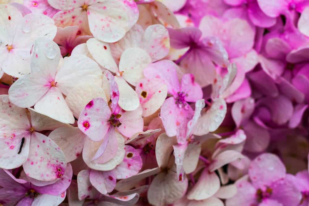 Hydrangeas in white and fuchsia pink colors.