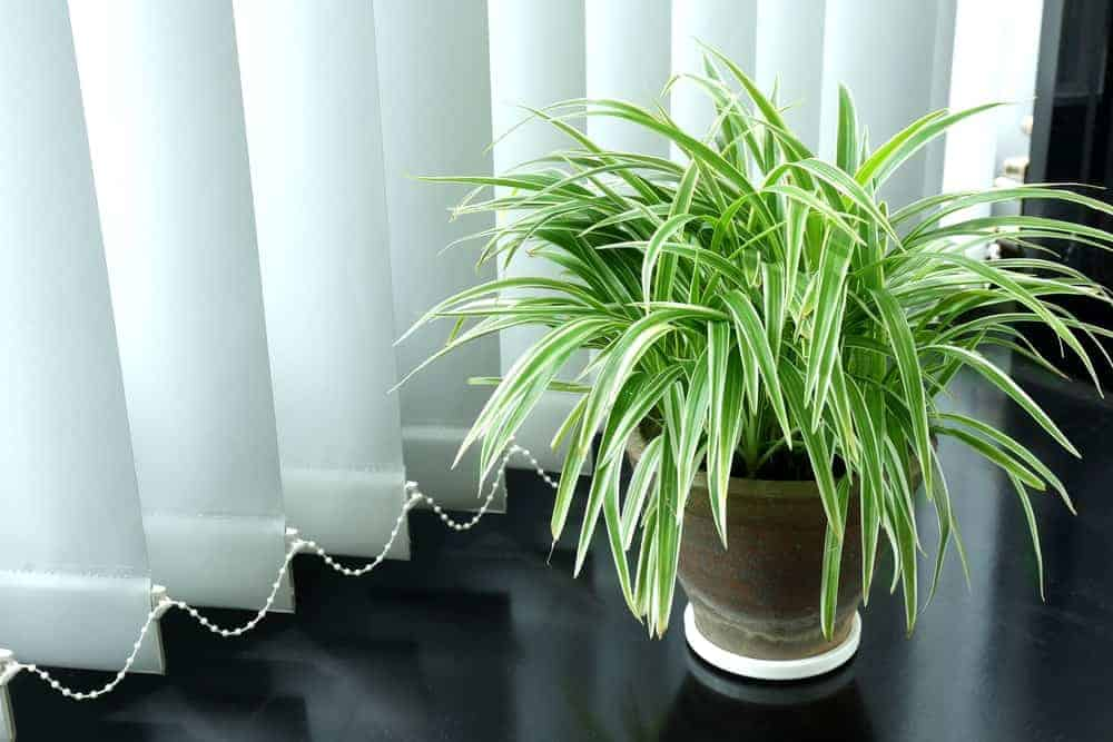 Indoor spider plant.