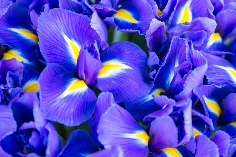 Blue Irises with yellow accents.
