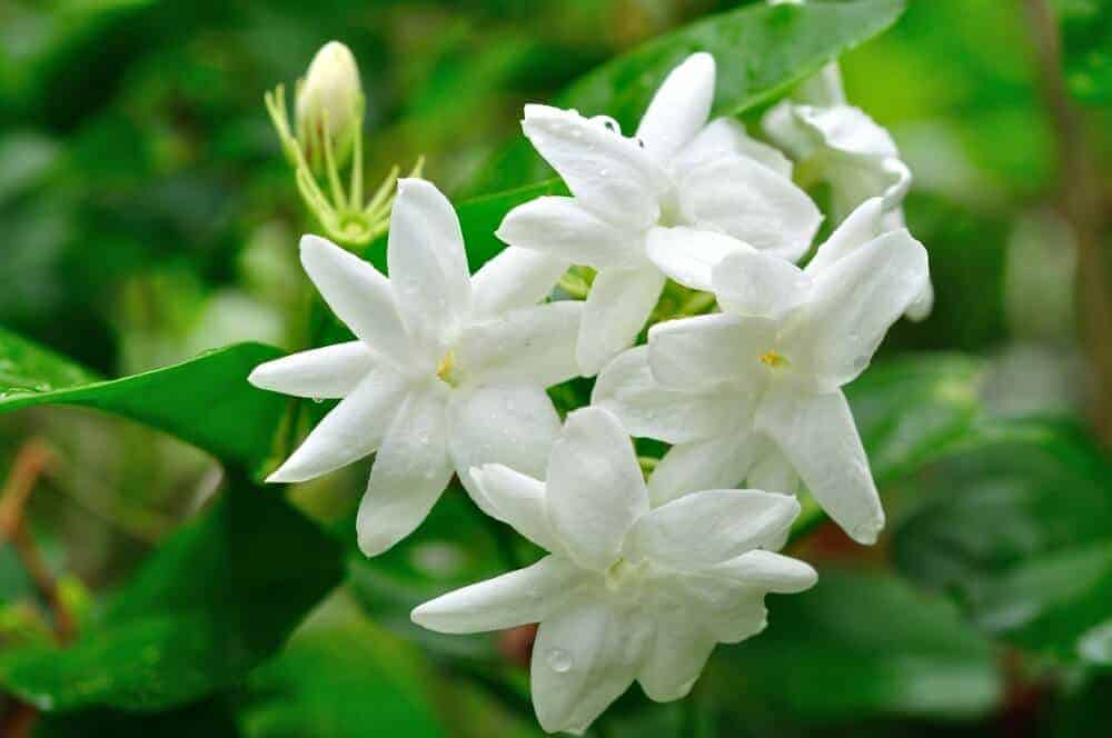 Jasmine flowers with droplets of water.
