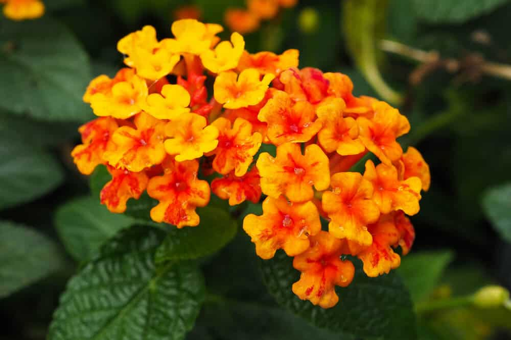 Orange flowers of Lantana.