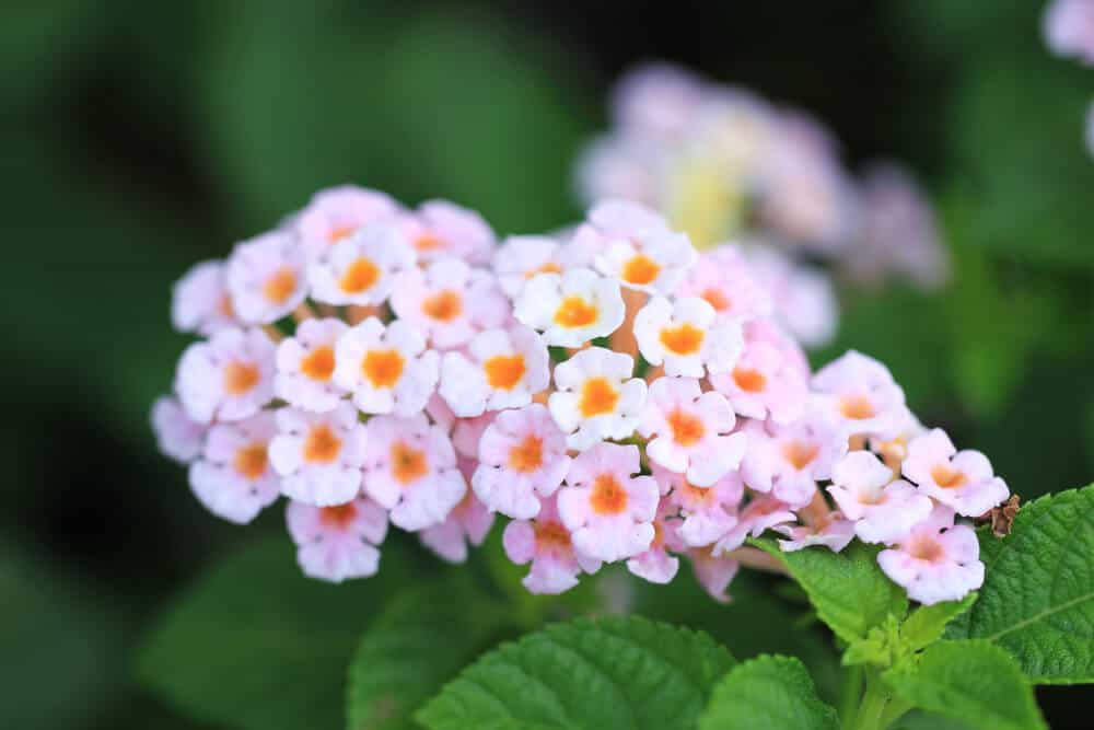 Pinkish-white Lantanas with yellow accents.