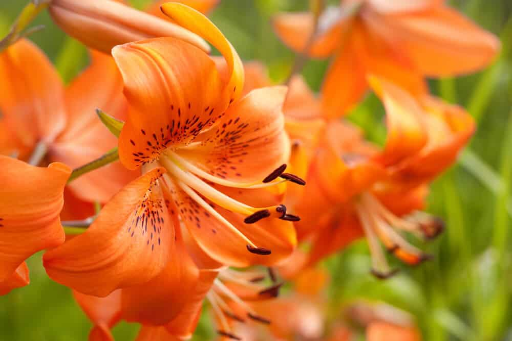 Fully-bloomed Lilies in a bright orange color.