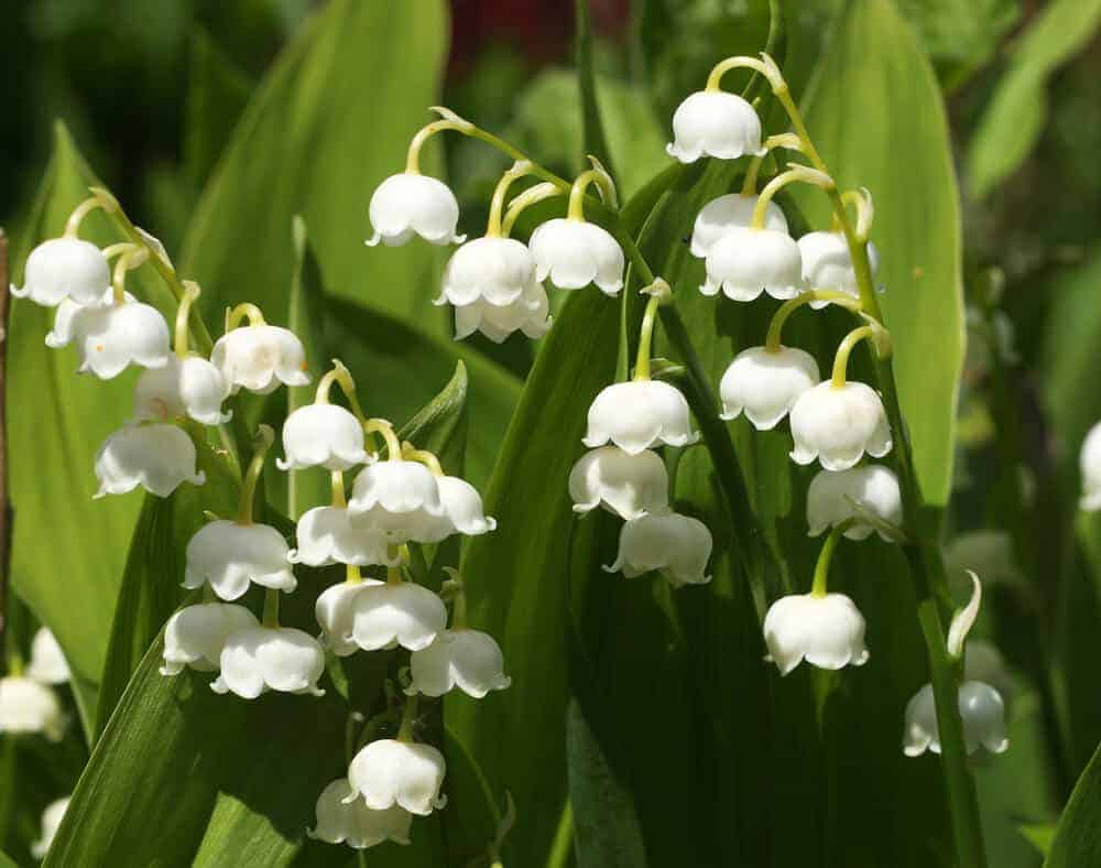 White and beautiful Lily of the Valley flowers.