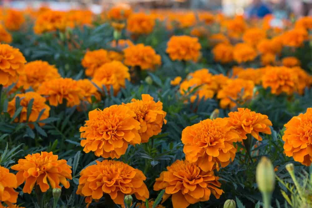 A field full of bright orange marigolds.