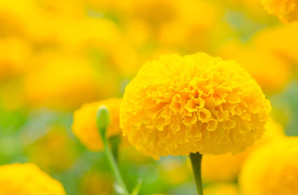 Marigolds for well-being
