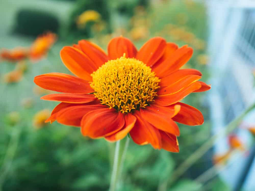 A well-established and healthy Mexican Sunflower.
