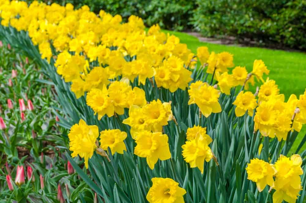 Miscellaneous daffodils