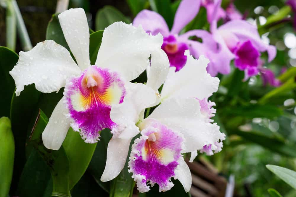 Cattleya Orchids in White and Violet.