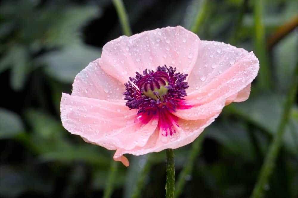 A single, pink oriental poppy.