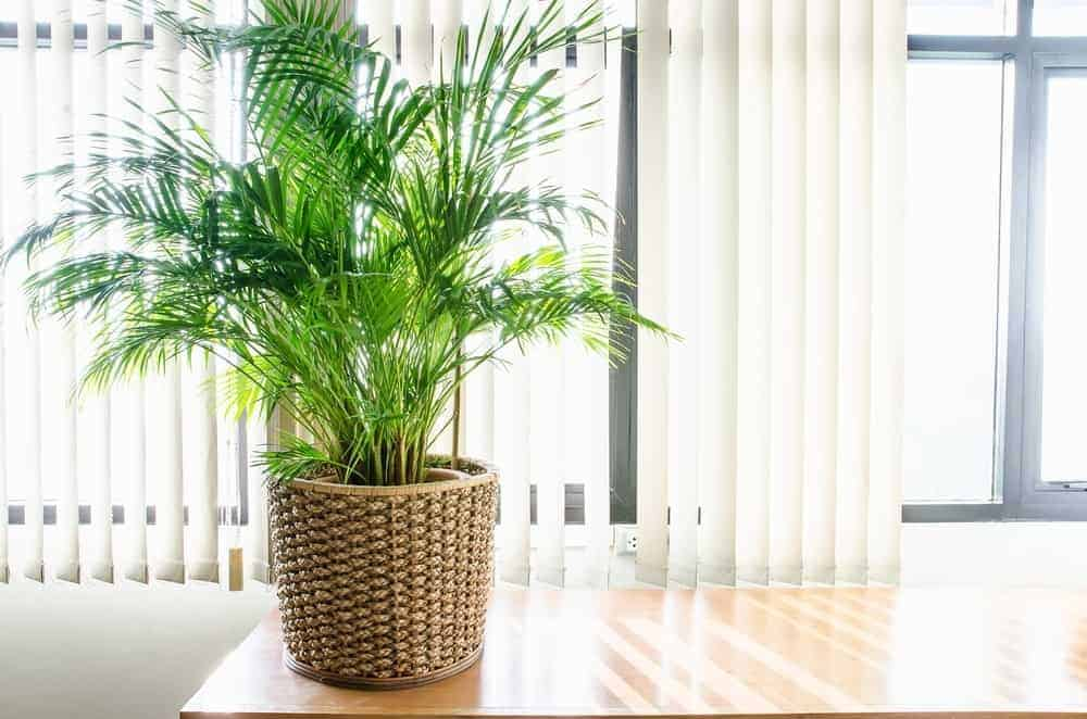 Indoor palm plant.