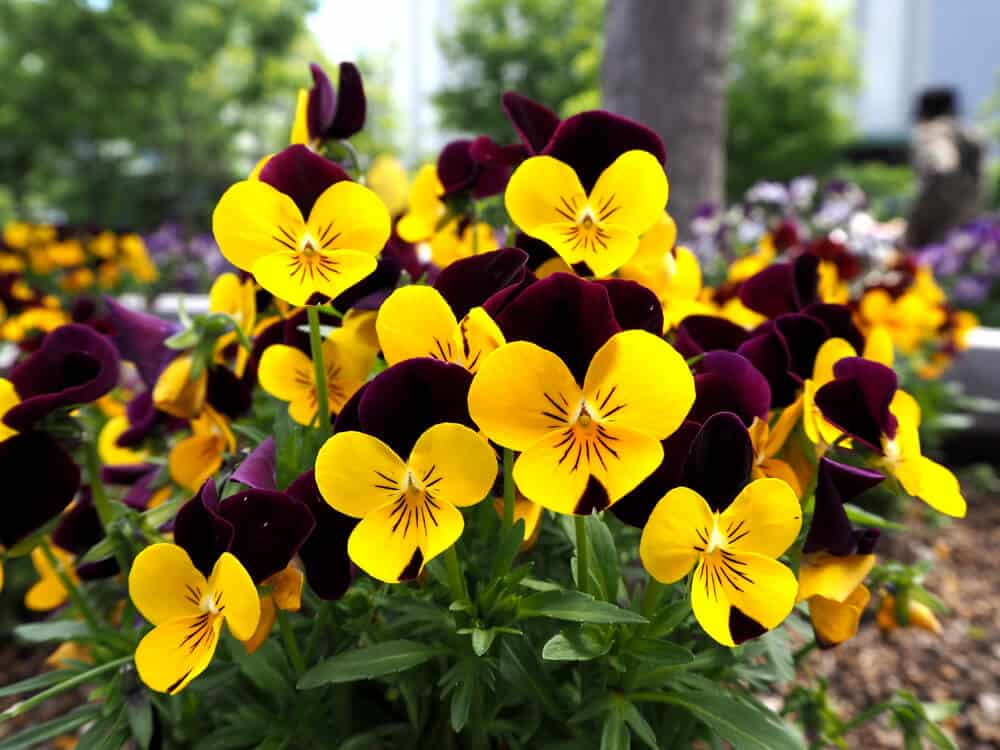 Yellow and Dark violet pansies.