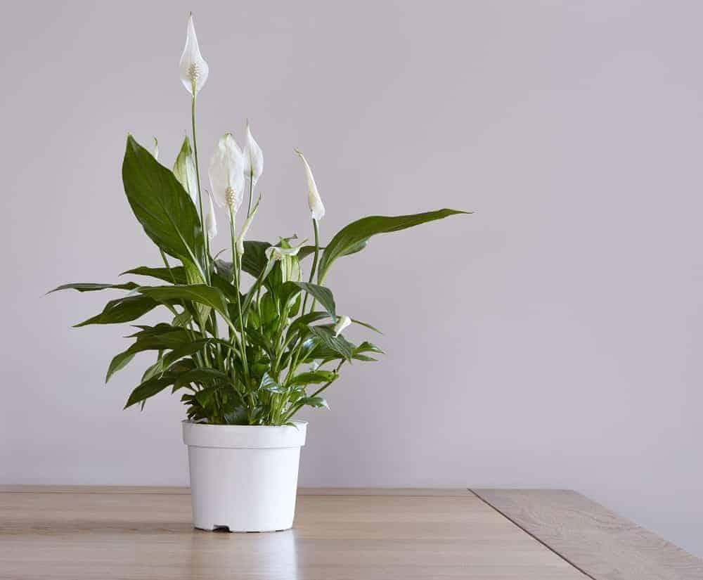 Peace lily indoor plant.