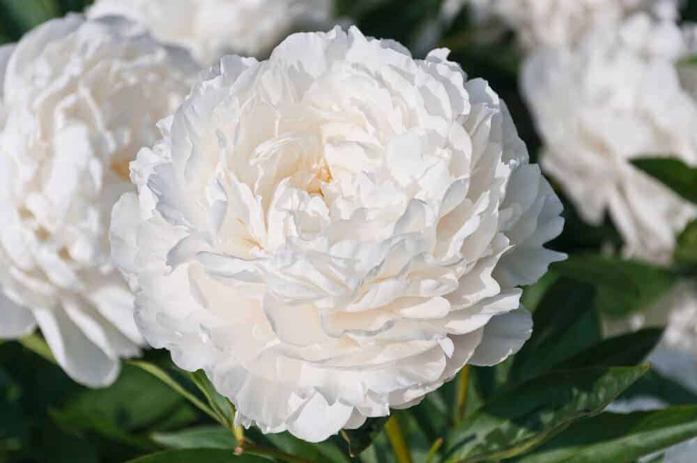 Fresh-looking, healthy peony in White.