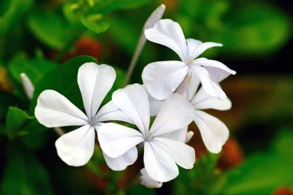 Pure white, little Periwinkle flowers.