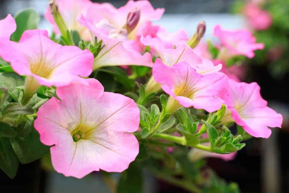 Pink Petunias in a garden.