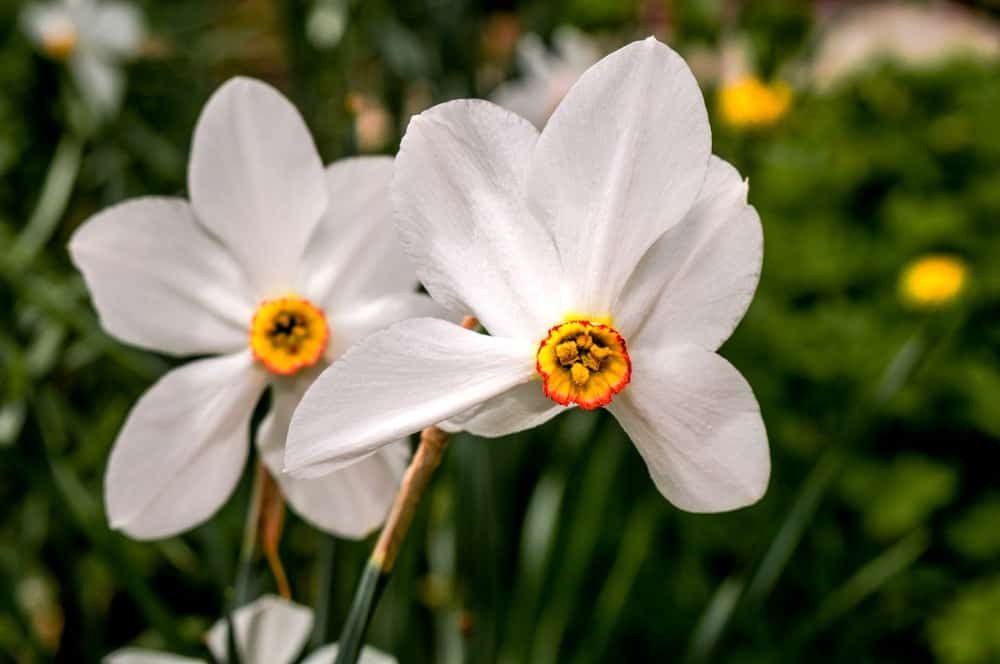 Poeticus daffodils