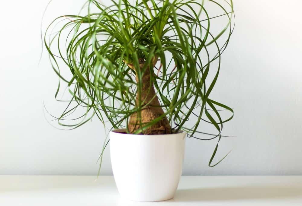 Ponytail plant.