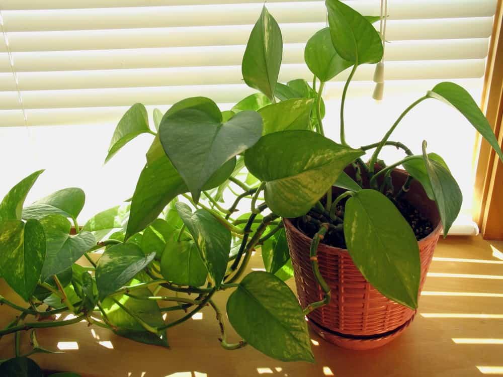 Pothos plant.