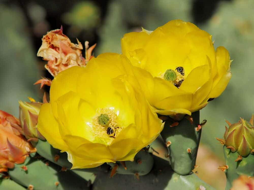 Prickly Pear with fully-bloomed yellow flowers.