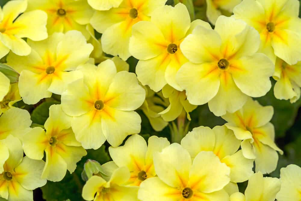 A bunch of yellow primroses in the garden.