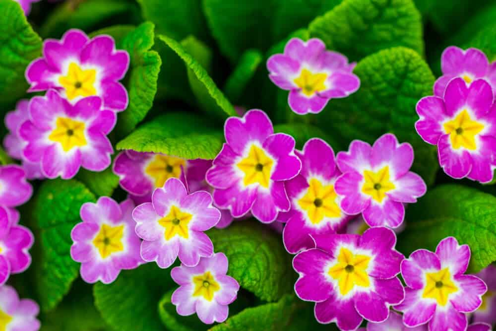 Primroses in yellow and fuchsia pink.