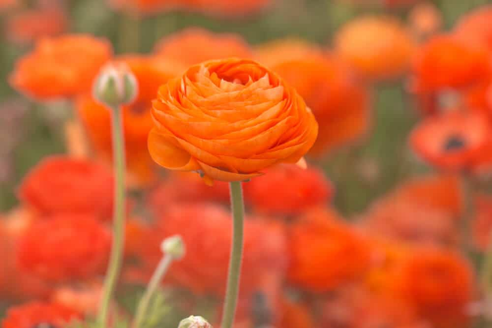 A field of Orange Ranunculus.