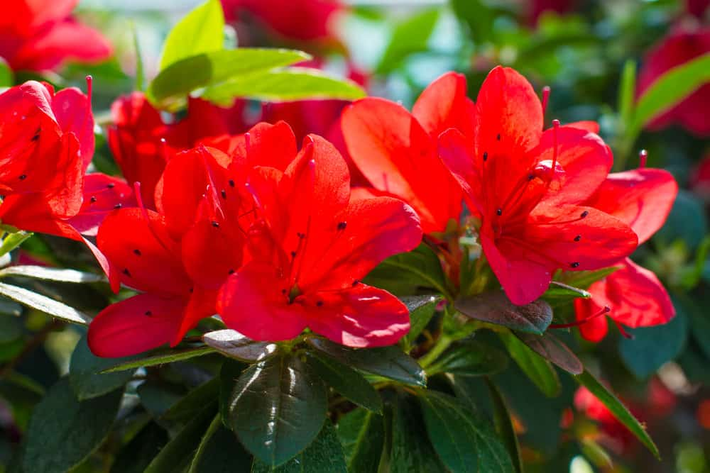 Red azaleas in the garden