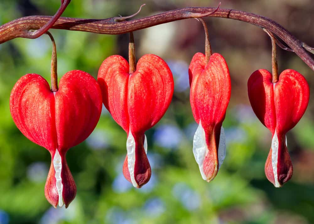 Red bleeding heart flowers