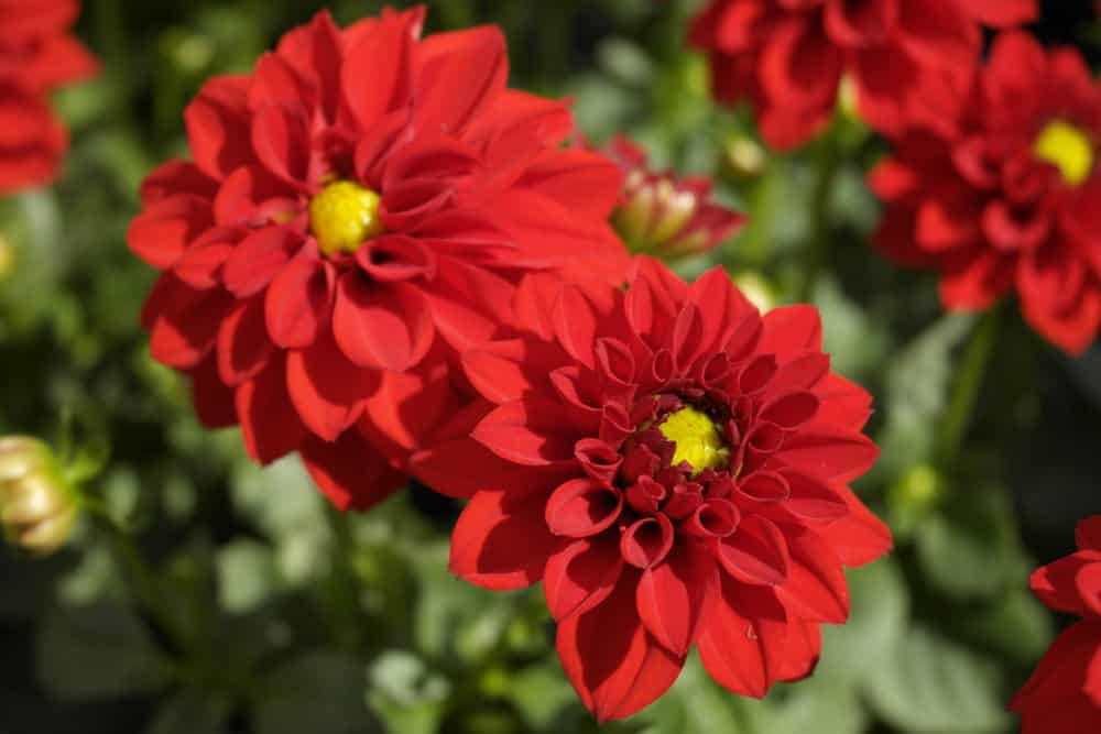 Red dahlias in the garden