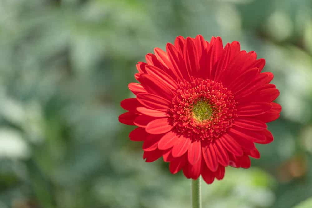 Red daisy in garden