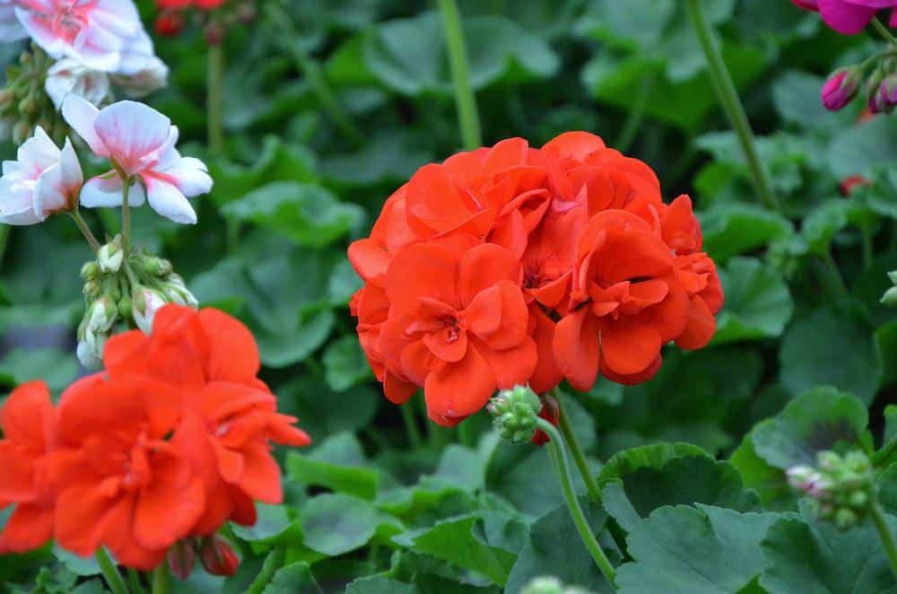 Red geraniums in the garden