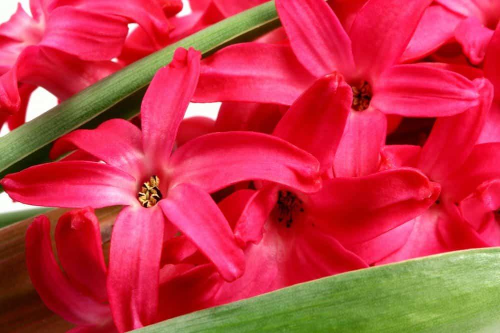 Red hyacinths