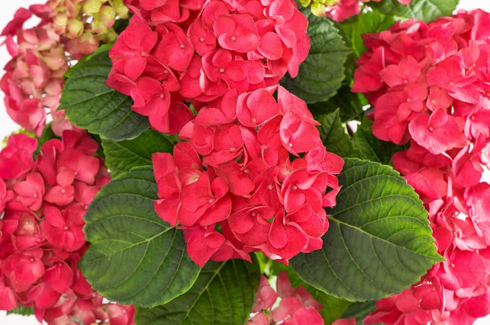 Red pink hydrangeas