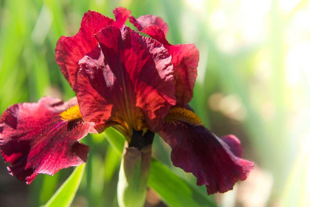 Red Iris flower