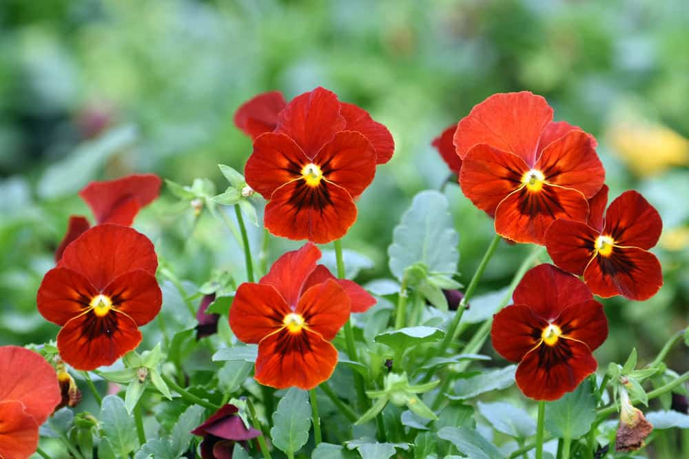 Red pansies in the garden