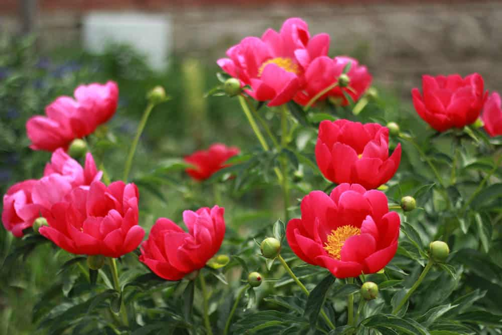 Red peonies in full bloom
