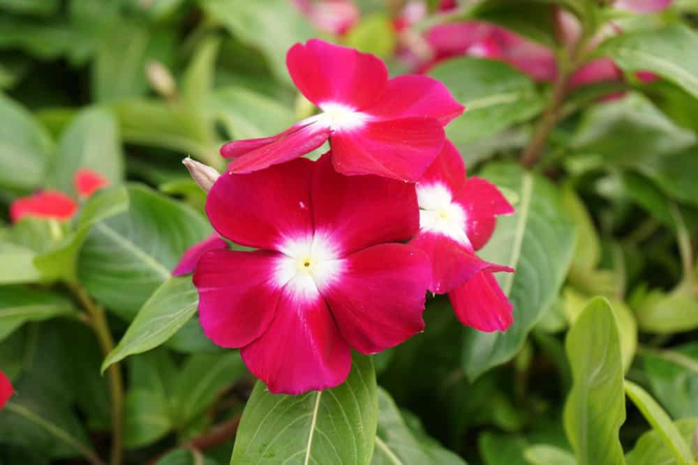 Red periwinkle flowers in the garden in full bloom