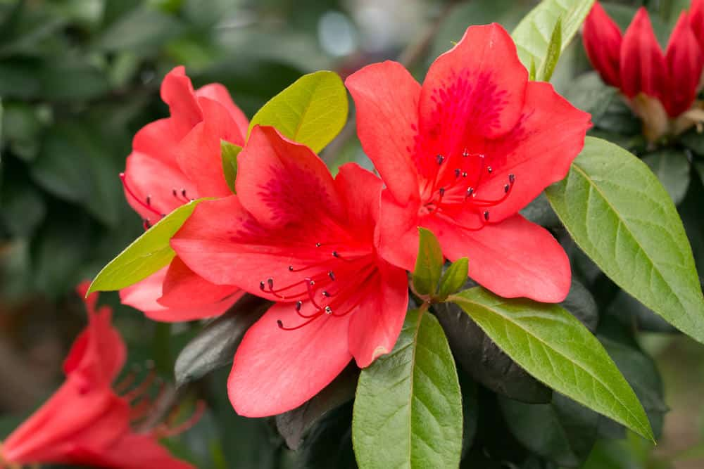 Red rhododendron flowers in the garden