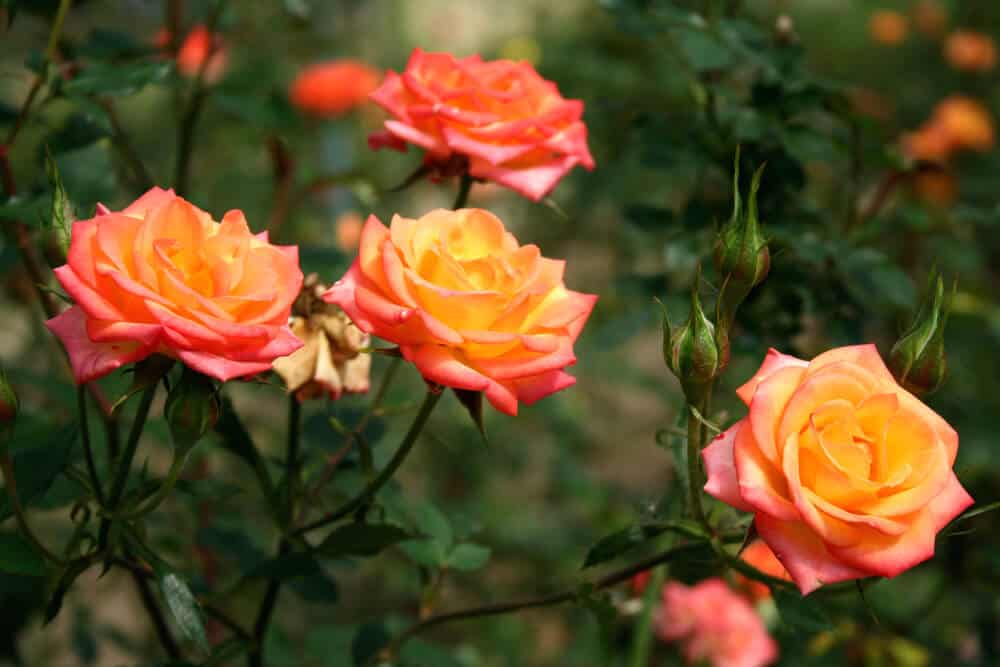 Unique orange roses in a garden.