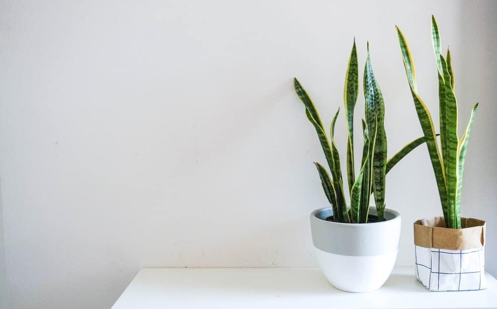 Snake plant.