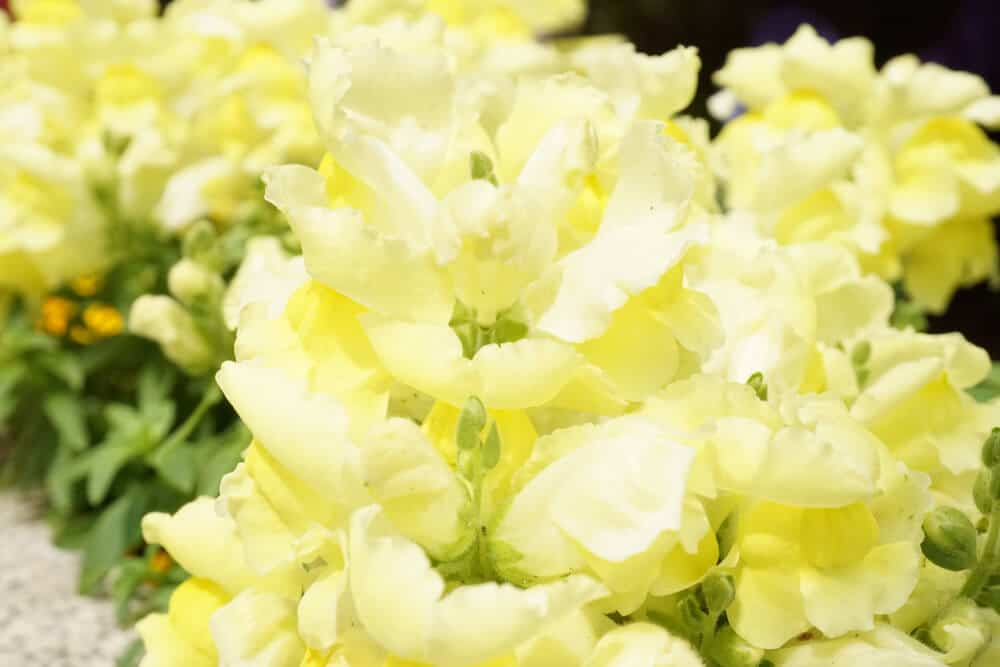 Light yellow snapdragons.